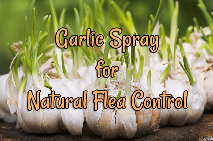 garlic-spray-featured-image.png